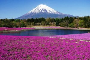TOUR DU LỊCH NHẬT BẢN MÙA HOA CHI ANH: TOKYO – KAWAGUCHI – NÚI PHÚ SĨ